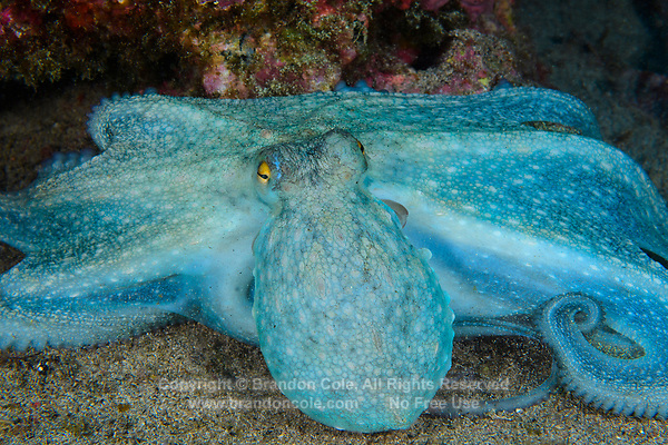 WQ71595-D. Common Octopus (Octopus vulgaris) hunting. It has just trapped prey underneath its parachute-like webbed tentacles. This octopus is well camouflaged normally, but here has changed colors dramatically. This species well studied by scientists. Widely harvested for food. Azores, Portugal, Atlantic Ocean.<br /> Photo Copyright © Brandon Cole. All rights reserved worldwide.  www.brandoncole.com
