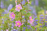 Woods' Rose or Western Wild Rose (Rosa woodsii) and lupine in ponderosa pine forest.  NE Washington, June.