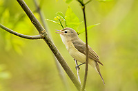 Warbling Vireo (Vireo gilvus) singing.  Great Lakes Region.  May.