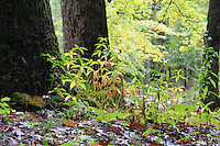 Two trees and wild plants grown on wet soil after rain in fall in smoky mountain national park, Tennessee, America.