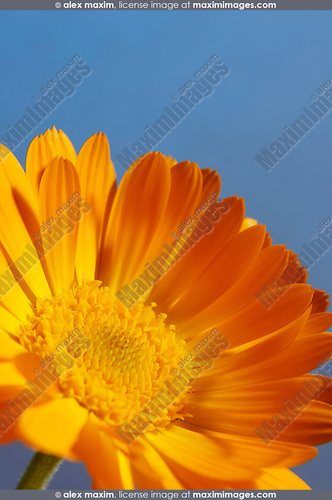 Beautiful orange daisy Gerbera flower close-up Isolated on blue background