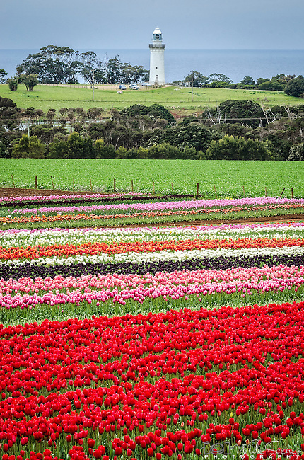 The Table Cape Lighthouse watches over the Table Cape Tulip Farm in Wynyard, Tasmania, Australia