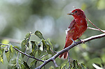 Summer tanager, North America