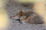 Sleeping coyote