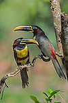 Chestnut-eared Aracari   (Pteroglossus castanotis), Pantanal, Mato Grosso, Brazil.