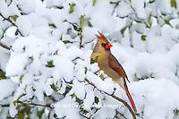 01530-20903 Northern Cardinal (Cardinalis cardinalis) female in American Holly (Ilex opaca) in winter, Marion Co., IL