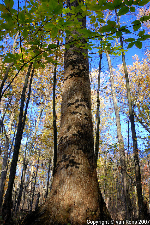 "Goll Woods is the least disturbed woodland known to remain in extreme northwestern Ohio. The the ""Black Swamp"" forest which once covered a vast area of the flat post-glacial lake plains southwest of Lake Erie."