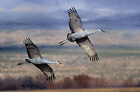 512666068 two sandhill cranes grus canadensis take flight over an open grain field in bosque del apache national wildlife refuge in new mexico
