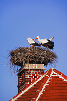 White Stork, Ciconia ciconia, pair on nest on chimney,Rust, National Park Lake Neusiedl, Burgenland, Austria, Europe