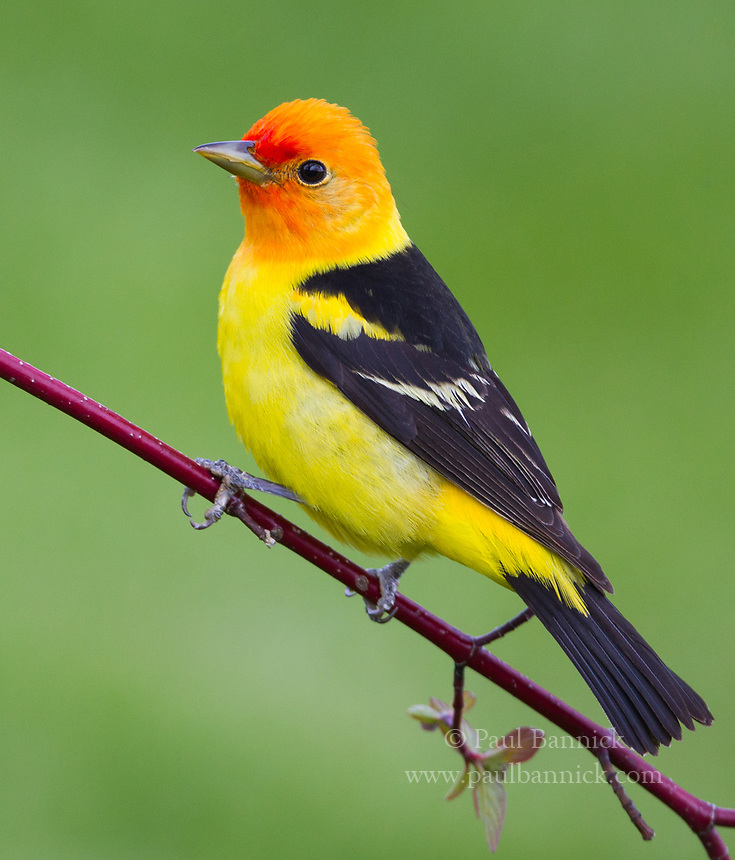 A male Western Tanager pauses on a Red-osier Dogwood branch.