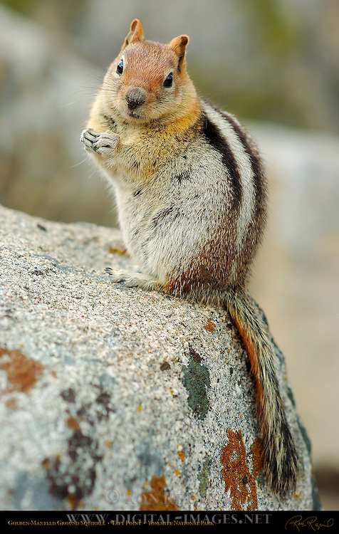 Golden-Mantled Ground Squirrel performing his Cute routine on a Granodiorite boulder in Spring, Callospermophilus lateralis, Taft Point, Yosemite National Park