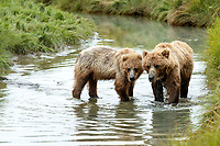 Alaska coastal brown (grizzly) bears sow and cub walk in water of slough in Lake Clark National Park Alaska.  Summer. <br /> <br /> Photo by Jeff Schultz/SchultzPhoto.com  (C) 2018  ALL RIGHTS RESERVED<br /> Amazing Views-- Into the wild photo tour 2018