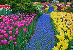 "Skagit County, WA               <br /> A river of grape hyacinth with a colorful mix of spring tulips in RoozenGaarde garden.<br />  ""Courtesy of the Washington Bulb Co. Inc."""