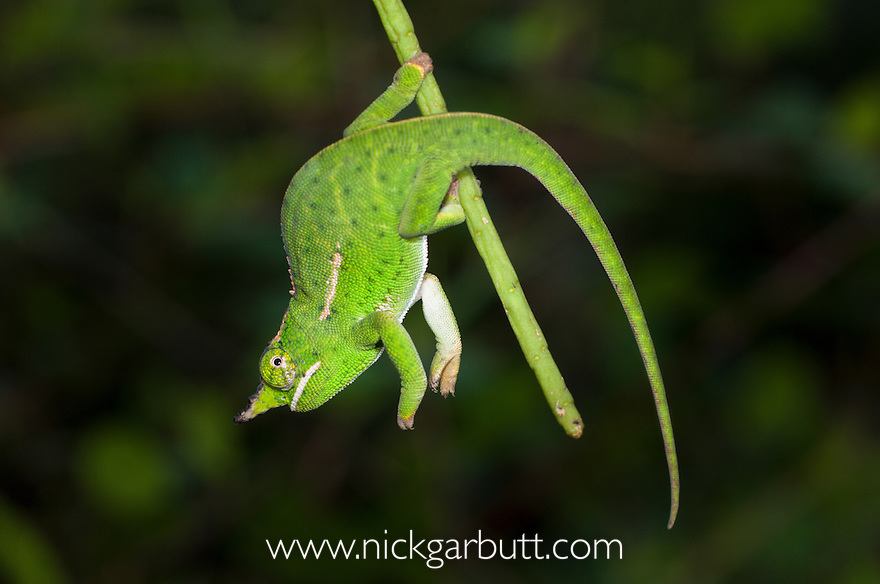 Male Will's Chameleon (Furcifer willsii). Andasibe-Mantadia National Park, Madagascar.