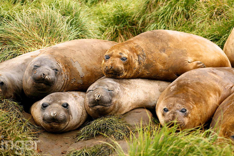 Southern Elephant Seal pups on Macquarie Island, Antarctica
