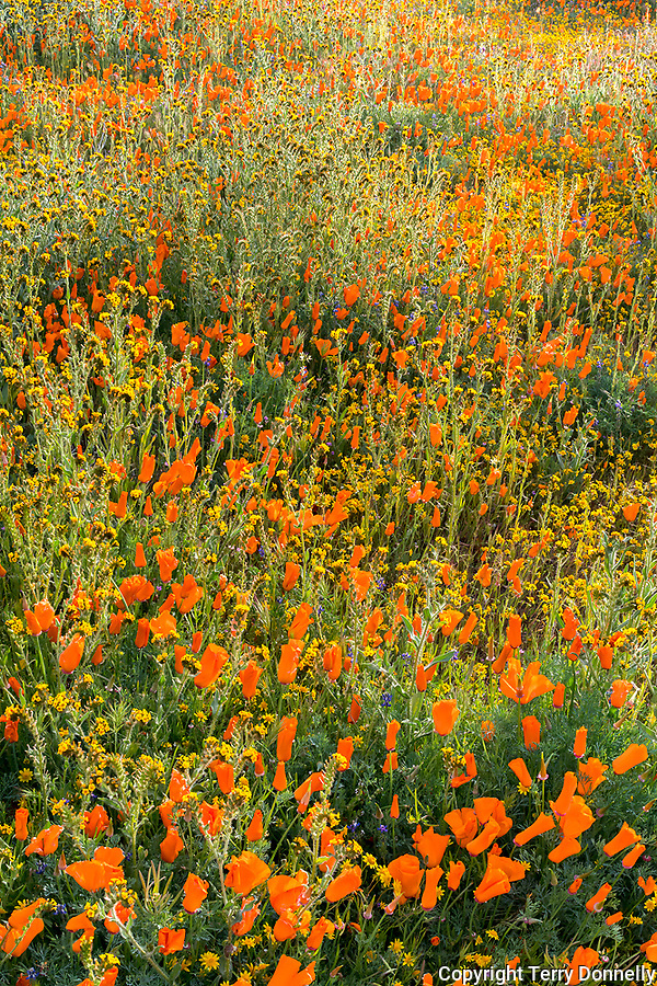 Mojave Desert, Antelope Valley, California:<br /> Backlit spring wildflowers, California poppies (Eschscholzia californica), California Goldfields (Lasthenia californica) blooming near the Antelope Valley Poppy Reserve