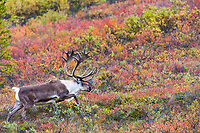 Bull caribou walks across the autumn colored tundra in Denali National Park.
