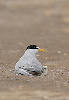 Least Tern (Sterna antillarum), adult warming newborn chicks, Port Isabel, Laguna Madre, South Padre Island, Texas, USA