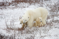 01874-109.18 Polar Bears (Ursus maritimus) female & 2 cubs near Hudson Bay, Churchill  MB, Canada