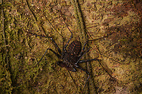 Tailless Whip Scorpion (Amblypygi)- Arenal, Costa Rica.