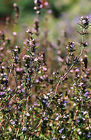 Sommer-Bohnenkraut, Gartenbohnenkraut, Sommerbohnenkraut, Garten-Bohnenkraut, Bohnenkraut, Satureja hortensis, Summer savory