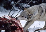 Gray wolf feeding on deer