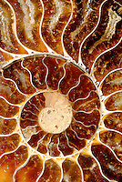 FOSSILS<br /> Cross-Section Of Fossilized Ammonite, Found in Turkey