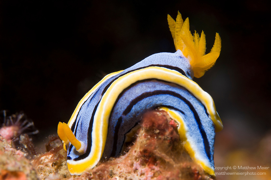 Anilao, Philippines; a Chromodorid sp. nudibranch (Chromodoris elisabethina?) on top of coral rubble on the sea floor