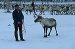 The Sami leave their herds in the mountains. They will come back by the end of June to brand the roe calfs born between May and June, and then at fall to separate the herds. Each community brings back then his beasts in the corrals, chooses the ones that will be led to the slaughterhouse, and comes back with the rest of the herd in the winter forests..Reindeer migration from Gallivare to the national parks of  Sarek and Stora Sjôfallet, 200 km west. Lapland, Sapmi, north of Sweden..