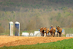Nippenose Valley. Amishman cultivating with four horse mule team.