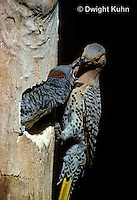 FK20-009z   Common Flicker - male adult at nest hole with young peeking out of nest cavity - Colaptes auratus