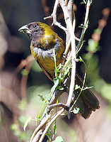 Female crimson-collared grosbeak
