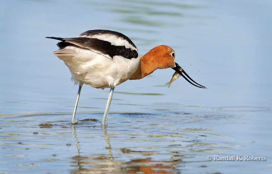 An American Avocet (Recurvirostra americana) grabs lunch at a small pond in Thornton, Colorado