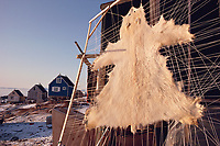 Polar bear skin stretched out to dry outside a house. Savissivik, N.W. Greenland, Arctic, polar bear, Ursus maritimus