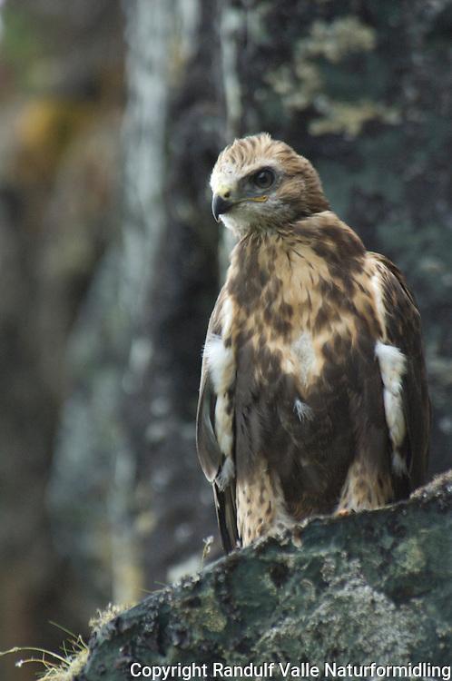 Ung fjellvåk på reirhylle. ---- Young Rough-legged buzzard