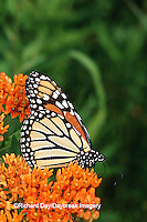 03536-01718 Monarch (Danaus plexippus) on Butterfly Milkweed (Asclepias tuberosa) Marion Co. IL