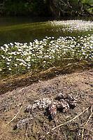Europäischer Fischotter, Losung, Kot am Ufer eines Baches, mit Nahrungsresten wie Schalenstückchen von verzehrten Muscheln und Krebsen, Lutra lutra, European river otter