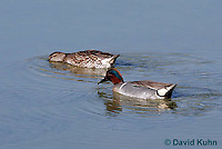 0717-0802  Male and Female Breeding Pair of Green-winged Teals, Anas carolinensis © David Kuhn/Dwight Kuhn Photography