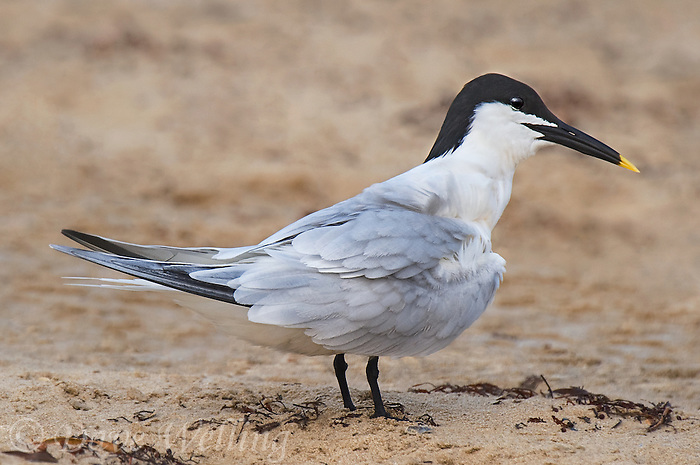 581790001 a wild adult sandwich tern thalasseus sandvicensis in breeding plumage stands on boca chica beach along the texas gulf coast