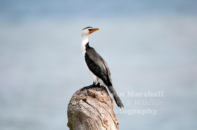 Little pied cormorant, little shag or kawaupaka (Microcarbo melanoleucos) is a common Australasian waterbird, found around the coasts, islands, estuaries, and inland waters of Australia, New Guinea, New Zealand, Malaysia, and Indonesia, and around the islands of the south-western Pacific and the subantarctic.Three subspecies are recognised. Until recently most authorities referred to this species as Phalacrocorax melanoleucus. Image taken at Lakes Entrance (East Gippsland) - Victoria, Australia.