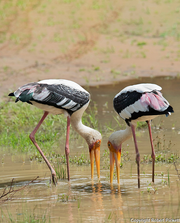 Painted Stork, Mycteria leucocephala, Wilpattu National Park, Sri Lanka, pair fishing together at waters edge, working together