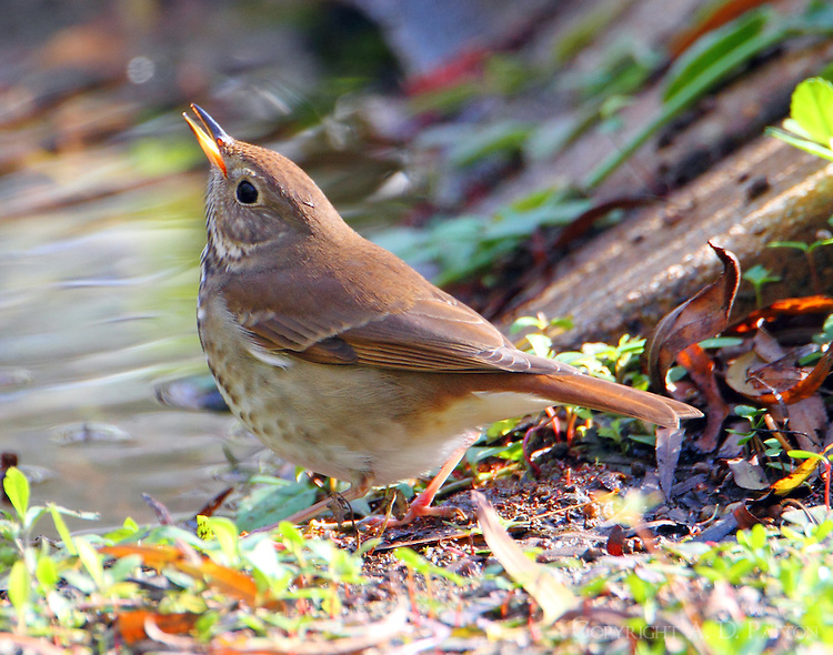 Hermit thrush swallowing a drink of water