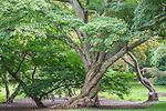 Painted Maple tree at the Arnold Arboretum in the Jamaica Plain neighborhood, Boston, Massachusetts, USA
