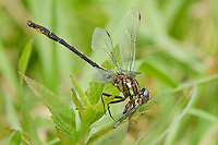 334060003 a wild oklahoma clubtail dragonfly gomphus oklahomensis feeds on a damselfly in the sam houston national forest in san jacinto county in east texas