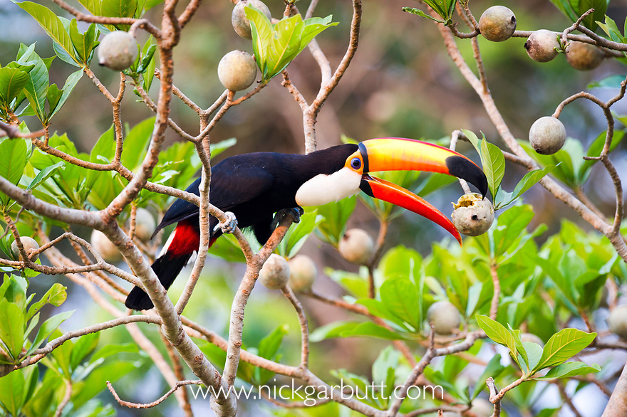 Toco Toucan (Ramphastos toco) feeding on fruit in forest canopy. Banks of the Cuiaba River, northern Pantanal, Mato Grosso, Brazil.