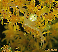 0827-06ww Crab spider - Misumenops spp. - © David Kuhn/Dwight Kuhn Photography
