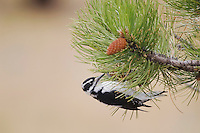 Hairy Woodpecker, Picoides villosus, female eating seeds of Ponderosa pine(Pinus ponderosa), Rocky Mountain National Park, Colorado, USA, September 2006