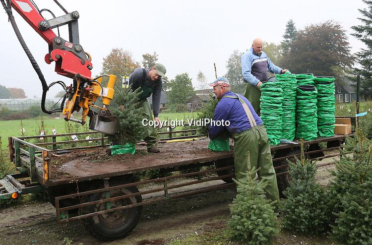 Foto: VidiPhoto<br /> <br /> OENE - Bij kwekerij De Buurte in het Gelderse Oene worden maandag de eerste kerstbomen van het seizoen gerooid. Dat gebeurt machinaal met een rooimachine. De kerstbomen, die al in een pot in de grond zitten, kunnen zo direct uitgeleverd worden aan de Nederlandse tuincentra. Nu al zijn er consumenten die een kerstboom komen, eerder dan andere jaren. Een nieuwe trend is ook een tweede -kleiner- boompje voor in de slaapkamer of op het toilet. De Buurte is met 60 ha. kerstbomen (400.000 stuks), de grootste kweker van Nederland. Daarvan worden er jaarlijks zo'n 80.000 verkocht in binnen- en buitenland. Opmerkelijk is dat Nederland ook levert aan Scandinavische landen waar de kerstboom oorspronkelijk vandaan komt. Reden is dat daar slechts &eacute;&eacute;n soort wordt gekweekt, de Nordman, en Nederlandse kwekerijen een veel ruimere keuze hebben. De traditie van het kopen van een 'levende' kerstboom en het versieren er van, is volgens een woordvoerder van De Buurte, helemaal terug van weggeweest. De kunstkerstboom is vrijwel verdwenen.