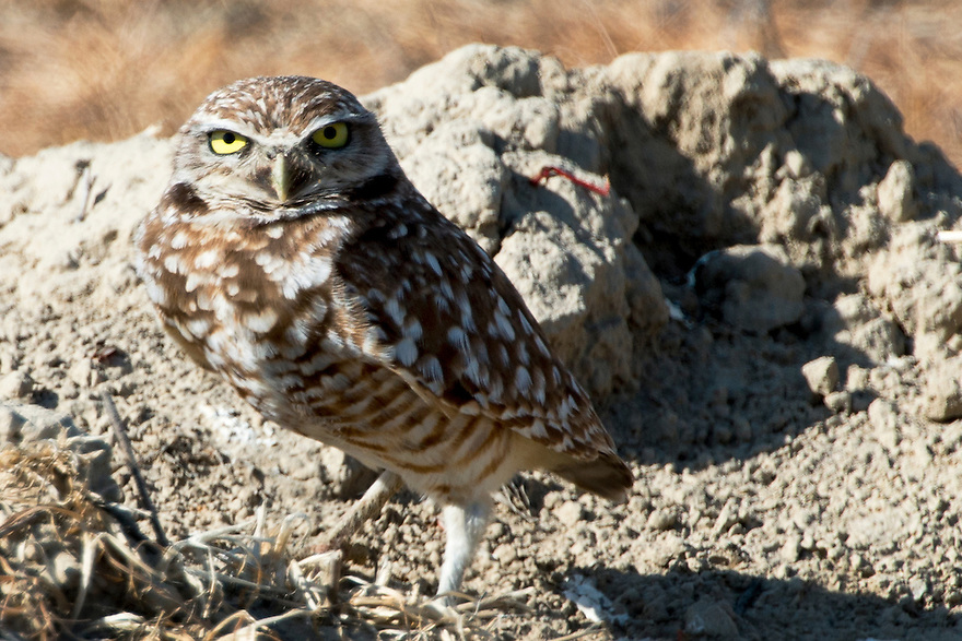 A Burrowing Owl stands beside its burrow. Burrowing Owls use holes excavated by prairie dogs and other animals to nest.