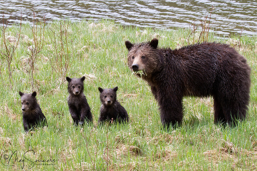 A very rare treat just to see this grizzly (Ursus arctos horribilis) foursome, not to mention having them all look the same direction at the same time!